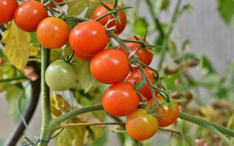 tomato in aquaponics