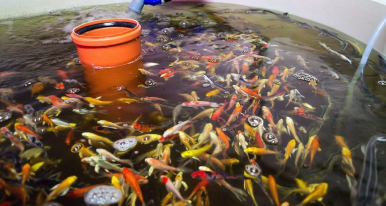Fish in Aquaponics