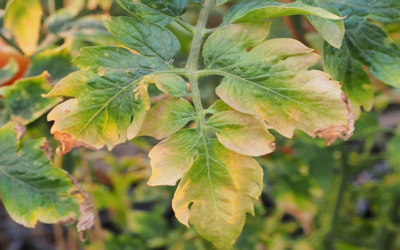 Nutrient Deficiency In Tomato Plant