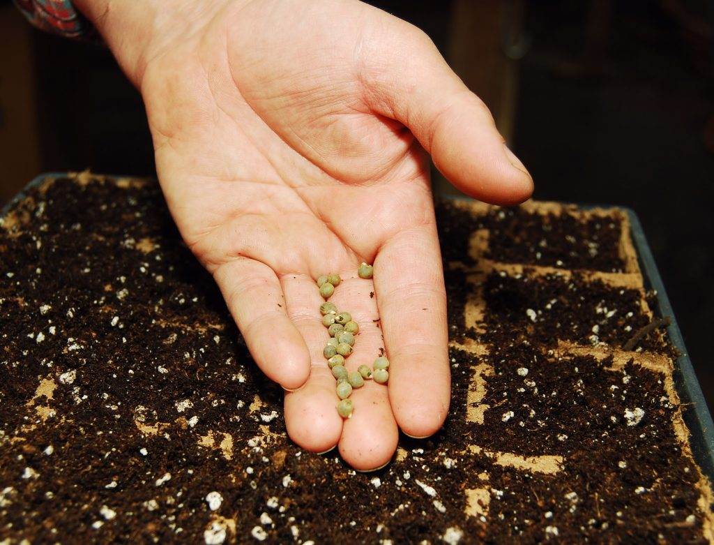 How to Germinate Seeds in Aquaponics