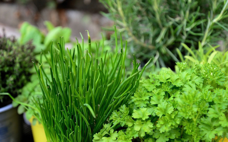 How to Grow Herbs in Aquaponics
